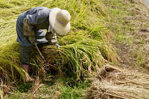 稲刈り手作業