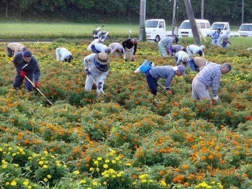花畑の草取り